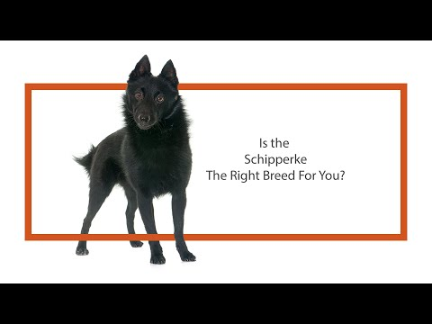Everything you need to know about Schipperke puppies! (2019)