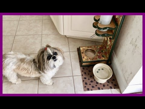 Lexi 😼 stays out of Lacey's 🐶 way during zoomies 💨😂 | Shih Tzu dog 🐾  | Blue Persian cat