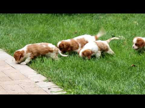 Cavalier King Charles Spaniel Puppies For Sale
