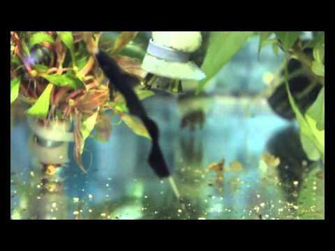 Pez cuchillo fantasma apteronotus albifrons youtube for Pez cuchillo cristal