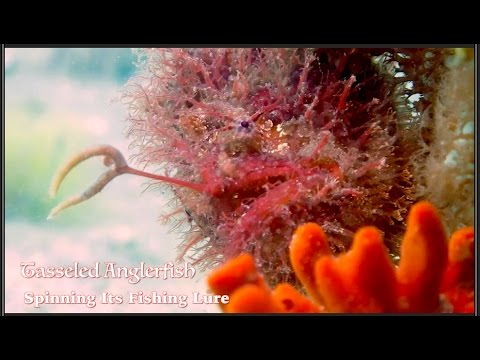 Video Of The Week | THE FISH THAT FISHES! Tasseled Anglerfish Spinning Its Fishing Lure 2015 HD