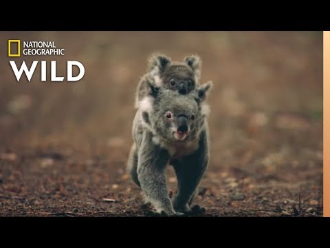 Koalas 101 | Nat Geo Wild