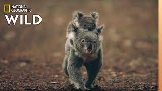 Koalas 101 Nat Geo Wild
