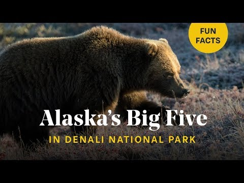 Close Encounters With Bears, Wolves & Moose In ALASKA 🐻 Denali National Park, Wildlife Photography