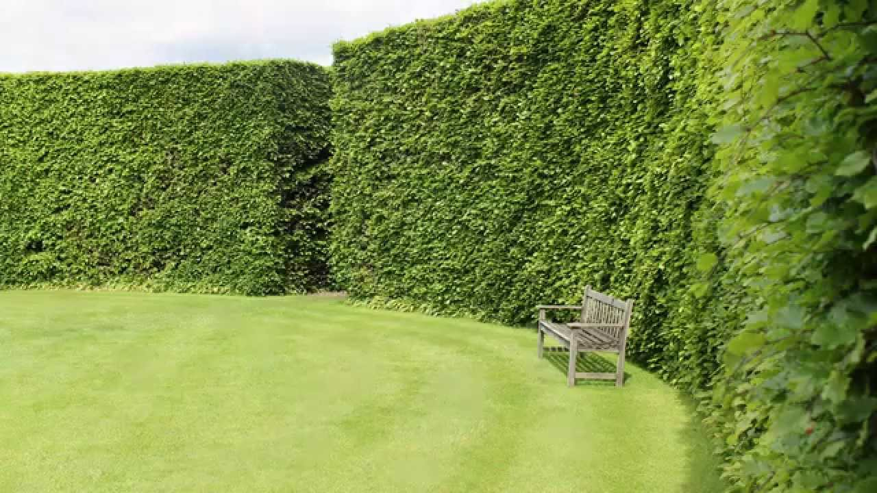 A Focus On Beech Hedging All You Need To Know About Fagus Sylvatica Youtube