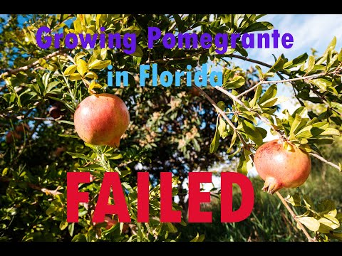 how to grow & Prune a pommegrante fruit tree, Tampa, Florida, Zone 8 & 9