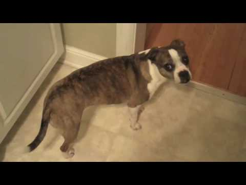 Princess - The Boston Terrier / Beagle Mix (we Think)