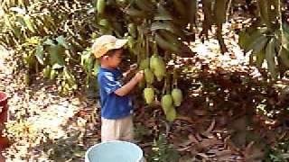 huerta de mangos del Gûero de palos blancos guerrero