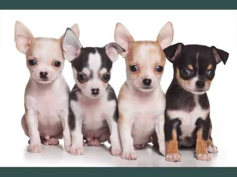 Chihuahua Dogs Dog Breed