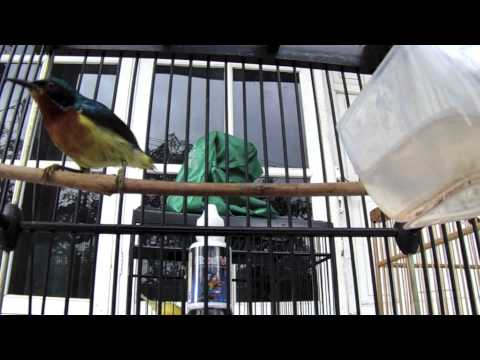 SUARA BURUNG : Kolibri Wulung Gacor Panjang Kena EBOD VIT