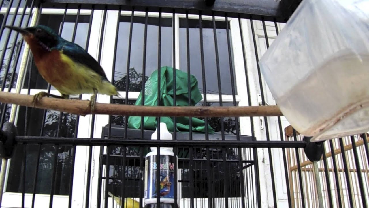 Suara Burung Kolibri Wulung Gacor Panjang Kena Ebod Vit Youtube
