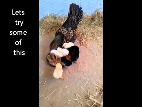 Golden Sebright Hen and Chicks.wmv