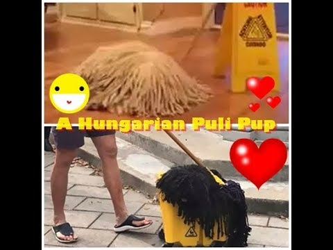 A Hungarian Puli Pup Recently Stole The Show at a Local Halloween