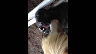 Tweek the Horse kissing Eli the Dog