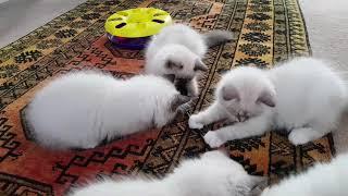 12 week old Birman kittens