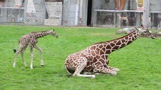 В зоопарке Детройта родился жирафёнок (новости)