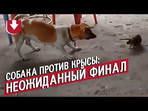 Бой собаки и крысы с неожиданным финалом!