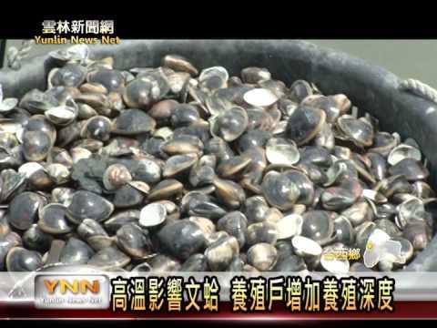 台西文蛤採收,分級方式報你知