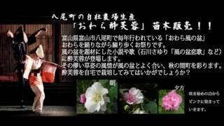 酔芙蓉(スイフヨウ)【花育通販】