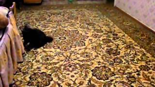Кошка как собачка приносит игрушку во рту