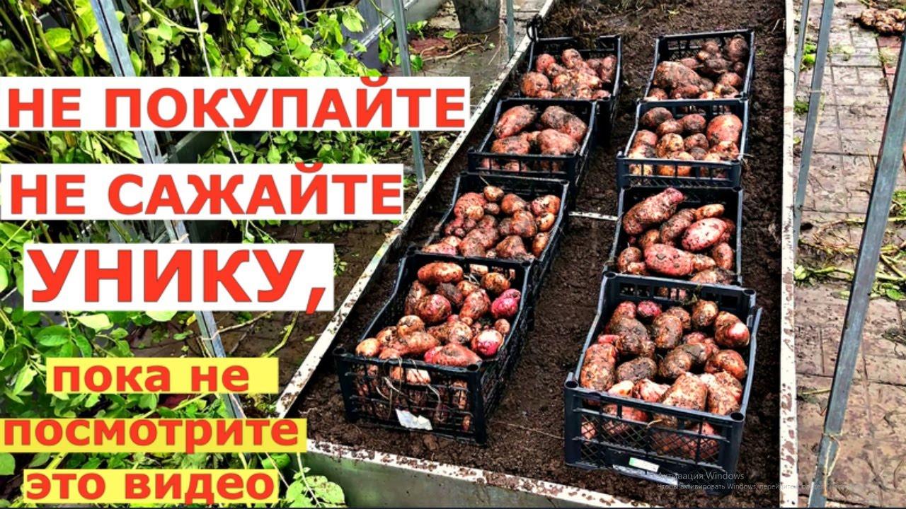 Картофель УНИКА - СВЕРХУРОЖАЙНЫЙ сорт с двухметровой ботвой