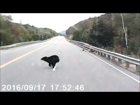 Young Black Bear runs across road in White Mountains of NH