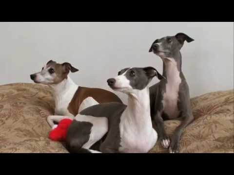 Dog Breeds - Italian Greyhound. Dogs 101 Animal Planet