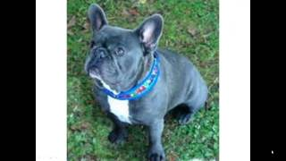 French Bulldog Lifespan -- Can You Stretch It Out?