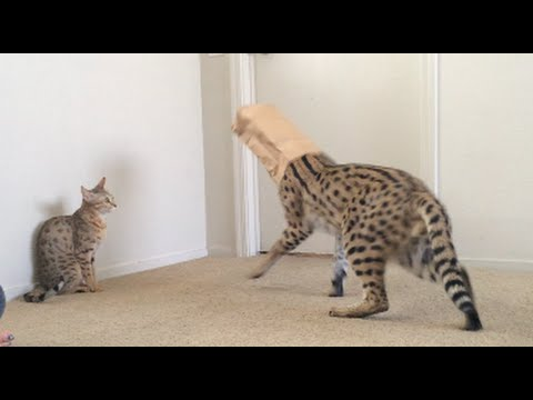 CAT STUCK IN BAG!! LOL!
