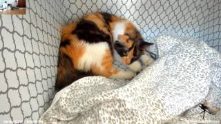 Rescued pregnant Kitty Harlequin gives birth to 6 kittens!