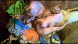 Кошка сосет сиську