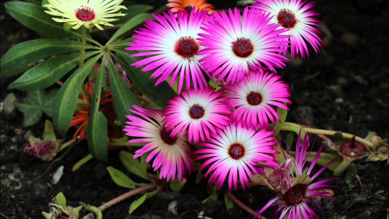 IJsbloemen Dorotheanthus (Livingstone daisy) - YouTube
