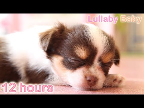 ☆-12-hours-☆-puppy-sleeping-music-♫-lullabies-☆-peaceful-sleep-music-for-dogs,-pets,-babies