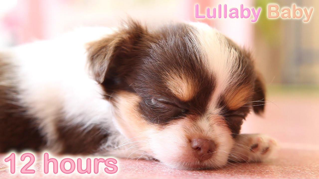 Cute Wallpapers For 12 Year Olds 12 Hours ☆ Puppy Sleeping Music ♫ Lullabies ☆ Peaceful
