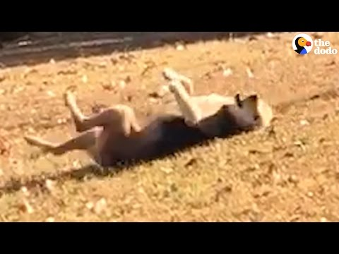 Funny Dog Rolls Down Hill, Then Goes Back For More | The Dodo
