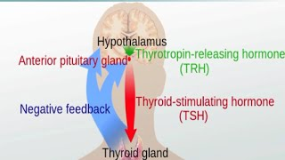Graves' Disease and Hashimoto's Thyroiditis