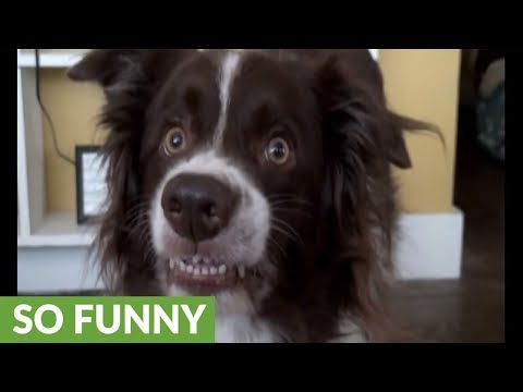 Goofy dog flashes hilarious smile for camera