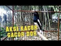 Aksi Burung Kacer Gacor Dor  Mp3 - Mp4 Download