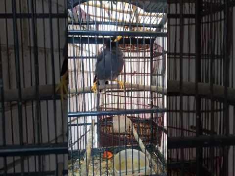 Burung jalak kebo mata putih