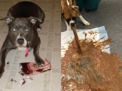 Here Is What Happens If A Dog Eat A Chocolate - Don't Give A Chocolate To Your Dogs