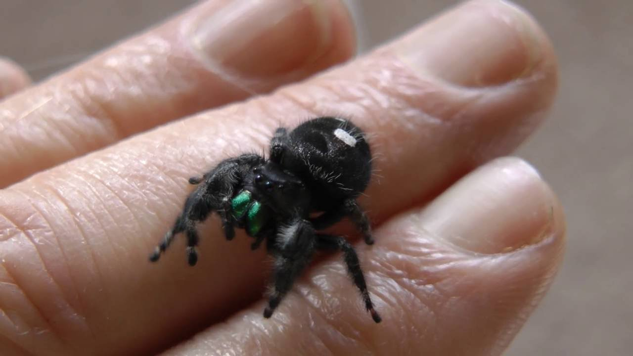 8 AMAZING jumping spiders types you can get as pets