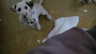 Dalmatian Puppy Covers Kitchen With Paper Towels