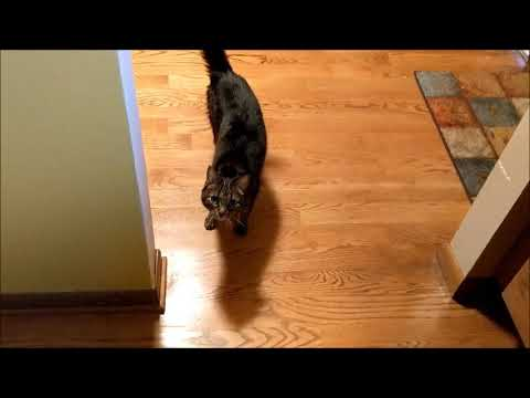 cat vs wolf