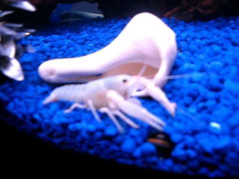 White Crayfish Dropped In Aquarium