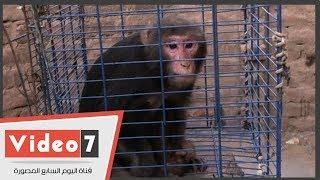 عمرك عرفت الفرق بين النسناس والقرد.. وطريقة التربية بالمنزل
