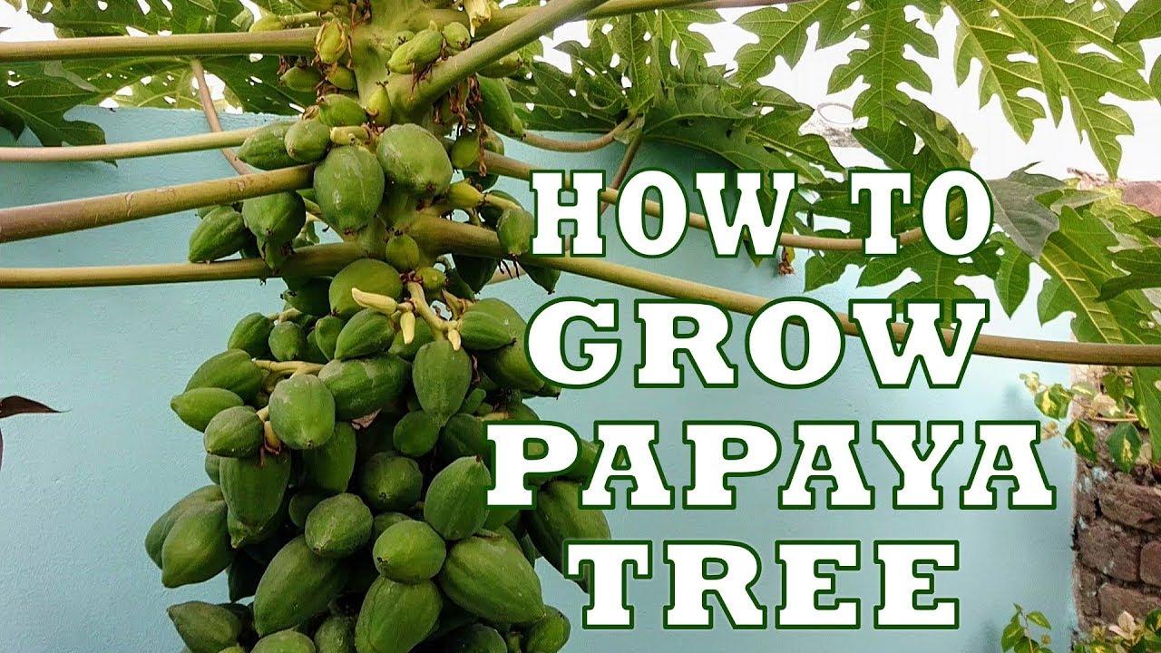 how to take care of papaya tree