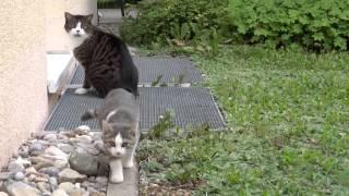 お隣に住んでる子猫ちゃんが太郎の後ろをうろちょろしてます。