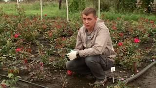 лайфхак Как укрыть розы на зиму? Отвечает специалист агрофирмы Семена Алтая