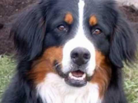 bernese mountain dog berner sennenhund youtube