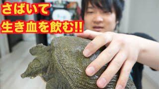 Repeat youtube video 【大乱闘!!】生きたスッポンをさばいて生き血を飲むよ!!